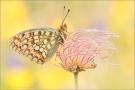 Mittlerer Perlmutterfalter (Argynnis niobe) 06