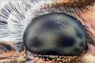 Magerrasen-Perlmuttfalter (Boloria dia) 15