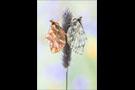 Ähnlicher Perlmuttfalter (Boloria napaea) 06
