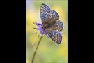 Ähnlicher Perlmutterfalter (Boloria napaea) 04