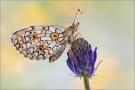 Sumpfwiesen-Perlmuttfalter (Boloria selene) 11