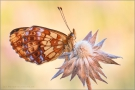 Alpen-Perlmutterfalter (Boloria thore) 03