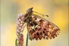Natterwurz-Perlmutterfalter 05 (Boloria titania)