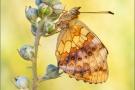 Brombeer-Perlmuttfalter (Brenthis daphne) 01