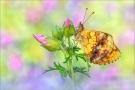 Brombeer-Perlmuttfalter (Brenthis daphne) 03
