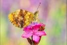 Brombeer-Perlmuttfalter (Brenthis daphne) 05