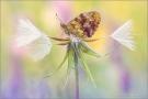 Brombeer-Perlmuttfalter (Brenthis daphne) 04