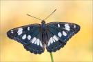 Blauschwarzer Eisvogel (Limenitis reducta) 03