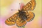 Goldener Scheckenfalter 13 (Euphydryas aurinia)
