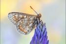 Alpiner Skabiosenscheckenfalter (Euphydryas aurinia debilis) 01