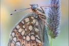 Mittlerer Perlmuttfalter (Fabriciana niobe) 09
