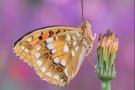 Feuriger Perlmuttfalter (Fabriciana adippe) 13