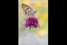Flockenblumen-Scheckenfalter 06 (Melitaea phoebe)