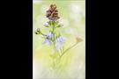 Landkärtchen (Araschnia levana) 07
