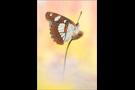 Blauschwarzer Eisvogel (Limenitis reducta) 06