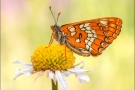 Maivogel (Euphydryas maturna) 04