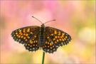 Wachtelweizen-Scheckenfalter 13 (Melitaea athalia)