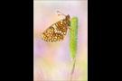 Östlicher Scheckenfalter (Melitaea britomartis) 01