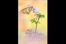 Roter Scheckenfalter (Melitaea didyma) 12