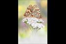 Roter Scheckenfalter 08 (Melitaea didyma)