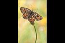 Flockenblumen Scheckenfalter (Melitaea phoebe) 08