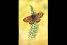 Bräunlicher Scheckenfalter (Melitaea trivia) 10