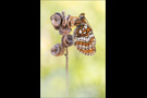 Westalpiner Scheckenfalter (Melitaea varia) 07