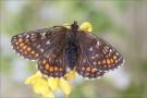 Westalpiner Scheckenfalter (Melitaea varia) 09
