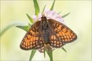 Westalpiner Scheckenfalter (Melitaea varia) 11