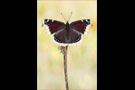 Trauermantel (Nymphalis antiopa) 05