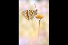 Feuriger Perlmutterfalter (Argynnis adippe) 03