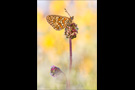 Randring-Perlmutterfalter (Boloria eunomia) 05