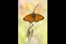 Randring-Perlmutterfalter (Boloria eunomia) 06