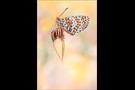 Roter Scheckenfalter 07 (Melitaea didyma)