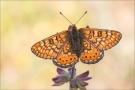 Goldener Scheckenfalter 10 (Euphydryas aurinia)
