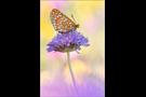Goldener Scheckenfalter 09 (Euphydryas aurinia)
