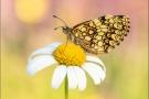 Wachtelweizen-Scheckenfalter 14 (Melitaea athalia)