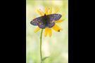 Ähnlicher Perlmutterfalter (Boloria napaea) 02