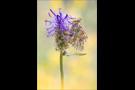 Ähnlicher Perlmutterfalter (Boloria napaea) 05