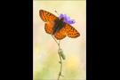 Hochalpen-Perlmutterfalter (Boloria pales) 07