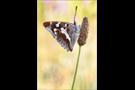 Großer Schillerfalter (Apatura iris) 04