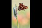 Landkärtchenfalter 03 (Araschnia levana)