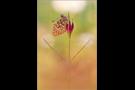 Großer Perlmutterfalter (Argynnis aglaja) 02