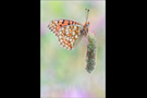 Mittlerer Perlmutterfalter (Argynnis niobe) 05