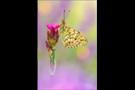 Mittlerer Perlmutterfalter (Argynnis niobe) 01