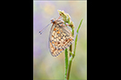 Mittlerer Perlmutterfalter (Argynnis niobe) 03