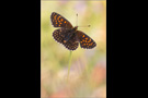 Baldrian-Scheckenfalter (Melitaea diamina) 03