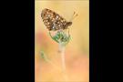Baldrian-Scheckenfalter (Melitaea diamina) 01