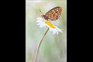 Randring-Perlmutterfalter (Boloria eunomia) 01
