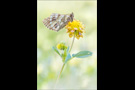 Ähnlicher Perlmutterfalter (Boloria napaea) 01